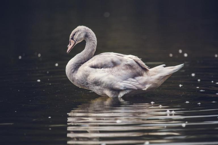 ugly-swan.jpg